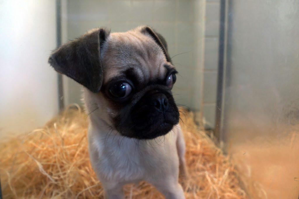 Hello Freckles Paris Pug Puppy