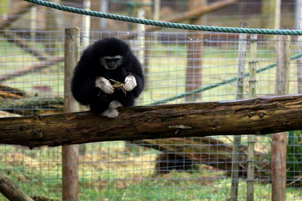 Hello Freckles South Lakes Safari Zoo Gibbon