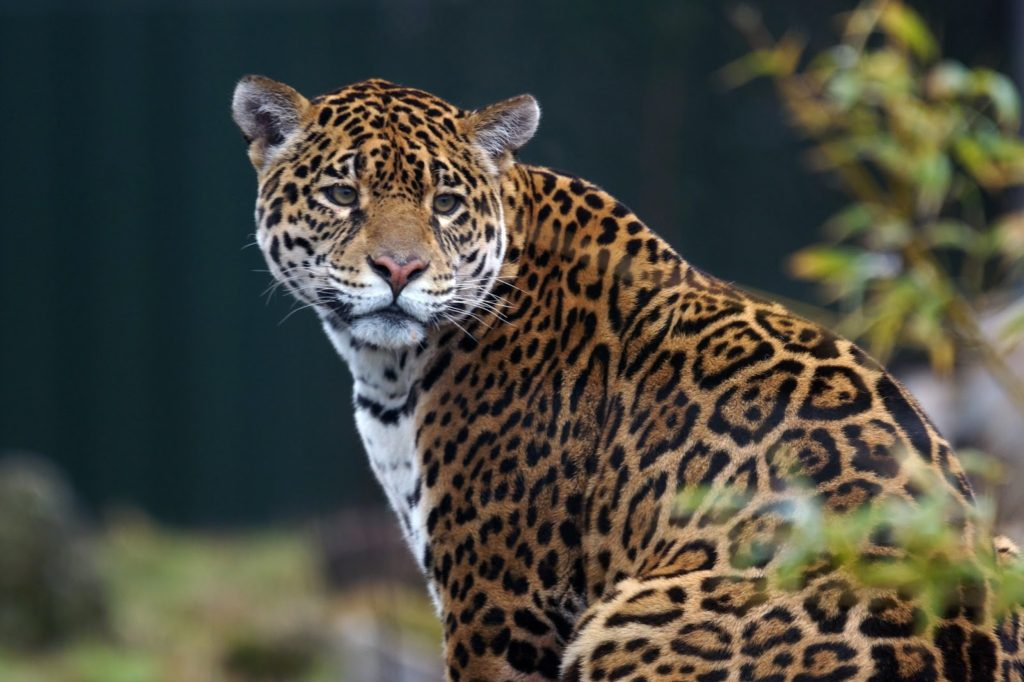 Hello Freckles South Lakes Safari Zoo Jaguar