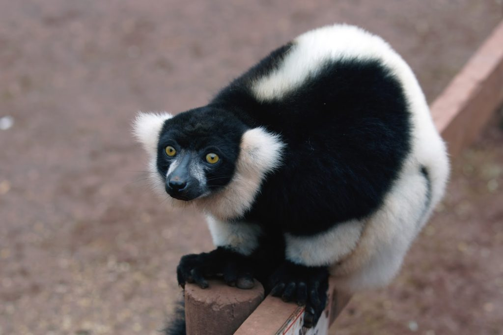 Hello Freckles South Lakes Safari Zoo Lemur