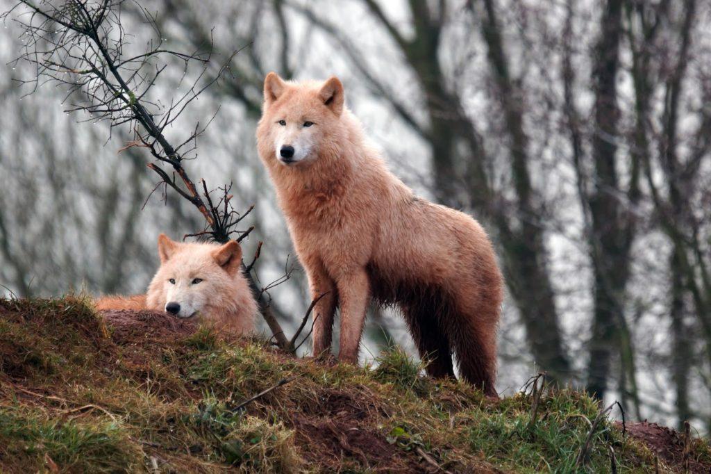 Hello Freckles South Lakes Safari Zoo Wolves