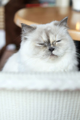 Hello Freckles Catpawcino Cat Cafe Newcastle Quayside nebloggers Ragdoll Kitten